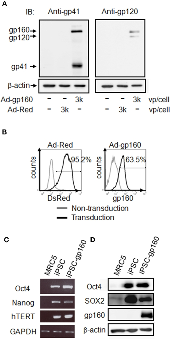 Expression of HIV-1 gp160 in hiPSCs . (A,B) hiPSCs were transduced with adenoviral vectors encoding HIV-1 gp160 (3,000 vp/cell) or DsRed (3,000 vp/cell) for 24 h. The HIV-1 gp160 protein and its cleaved product (gp41 and gp120) were detected by immunoblotting against anti-HIV-1 gp41 [ (A) left] or anti-HIV-1 gp120 antibodies [ (A) right]. β-actin was used as the internal control. The expression of DsRed or HIV-1 gp160 protein was measured by flow cytometry (B) . The staining patterns of transduced (thick line) and non-transduced (thin line) cells are shown. Percentages of positive-cells after transduction with each adenoviral vectors are also indicated. (C) iPSC markers (Oct4, Nanog, and hTERT) and GAPDH mRNAs were detected in, MRC5 fibroblasts, non-transduced hiPSCs or Ad-gp160-transduced hiPSCs at 24 h by RT-PCR. (D) The iPSC markers Oct4 and SOX2, and HIV-1 gp160 proteins were detected by immunoblotting of MRC5 fibroblasts, non-transduced hiPSCs, and Ad-gp160-transduced hiPSCs.
