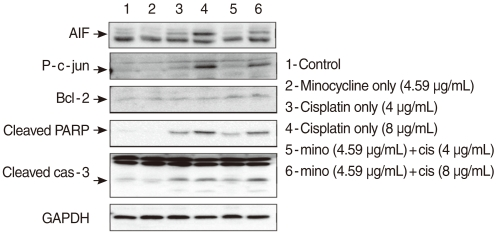 Cells pretreated with 10 µM minocycline and cultured in 4 µg/mL or 8 µg/mL cisplatin were analyzed using the Western blotting technique with antibodies targeting Bcl-2, p-JUN, cleaved caspase-3, cleaved polymerase (PARP), and AIF. Bcl-2 expression was elevated after the pretreatment with minocycline. Minocycline pretreatment decreased cisplatin-induced cleaved caspase 3 activity at the 4 µg/mL, but not the 8 µg/mL dose. The expression of p-JUN, cleaved PARP, and apoptosis-inducing factor (AIF) increased by cisplatin treatment, and suppressed by minocycline pretreatment.