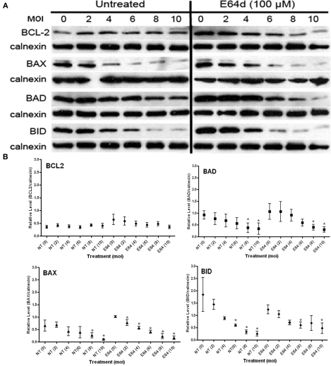 Effect of cysteine protease inhibition with E64d on the steady state levels of BCL2-family proteins in both uninfected (MOI = 0) and infected cells (MOI 2–10) . (A) Representative immunoblots detecting the levels of the indicated BCL2-family members in response to increasing infection. Levels of calnexin are used as a loading control. (B) Quantification of the levels of specific BCL2-proteins relative to calnexin in response to increasing infecting dose. Profiles for no-treatment (NT, untreated) and treated (E64) samples are indicated along with the MOI in parentheses. The mean relative level is indicated by the symbol with the error bards representing the SE of the mean. A single asterisk above an error bar signifies a significant data point relative to the uninfected control with a p -value