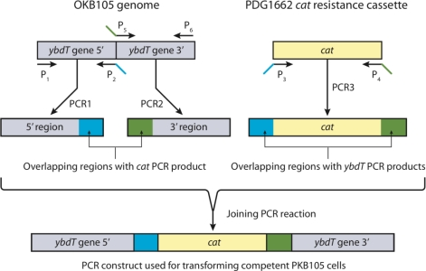 The overlap PCR protocol used to generate a ybdT mutation in OKB105. Primers P1 and P2 amplified the 5′ region of ybdT gene in OKB105. Primers P5 and P6 amplified the 3′ region of ybdT gene. Primers P3 and P4 amplified the chloramphenicol resistance cassette from PDG1662. Primers P2 P3, P4 and P5 were designed with 18 bp overlap as shown in Table 4 . PCR1, PCR2, and PCR3 are the primary PCR products with overlapping region as follows: the 3′end of PCR1 contains sequence for the upstream portion of the cat and the 5′ end of PCR3 has sequence for amino acids 149–151 encoded by ybdT (blue). The 5′end of PCR2 contains sequence for amino acids 214–226 encoded by cat and 3′end of PCR3 has sequence for amino acids 365–367 encoded by ybdT (red). The primary PCR products were then joined in a long PCR reaction to synthesize the PCR construct used for transforming competent OKB105 cells.