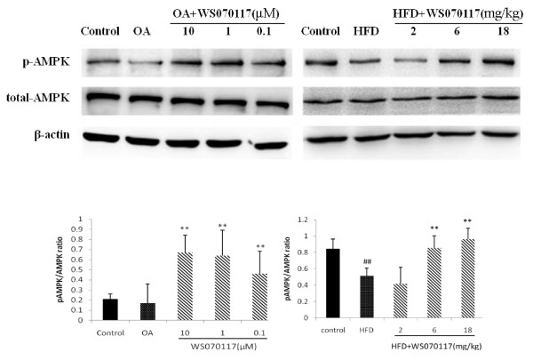 WS070117 treatment increases AMP-activated protein kinase (AMPK) phosphorylation in OLA-induced HepG2 cells and HFD fed hamster livers. Data depict at least 3 experiments . ** P
