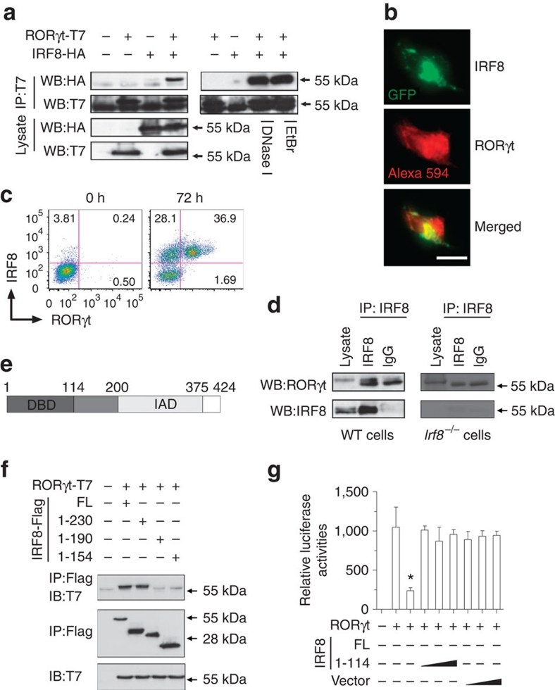 IRF8 interacts physically with RORγ. ( a ) 293T cells were transfected with HA-tagged IRF8 and T7-tagged RORγt overexpression plasmids for 40 h and cell lysates were prepared in the presence or absence of DNase I or ethidium bromide. 500 μg of cell lysates were immunoprecipitated with an anti-T7 antibody and immunoblotted with specific antibodies as indicated. Data are representative of three independent experiments. ( b ) NIH3T3 cells were transiently transfected with GFP-IRF8 and T7-RORγt for 40 h, and cells were fixed and stained red for RORγt followed by confocal microscopic analysis. Scale bar, 50 μm. ( c ) Naive CD4 + T cells from WT mice were cultured under T H 17-polarizing conditions for 72 h and the expression of RORγt and IRF8 was analysed by flow cytometry. The cells were gated on CD4 + T cells. Data are representative of three independent experiments. ( d ) Naive CD4 + T cells from wild-type or Irf8 –/– mice were cultured under T H 17-polarizing conditions for 60 h and the cell lysates were then immunoprecipitated with an anti-IRF8 antibody and western blotted (WB) with anti-RORγt and anti-IRF8 antibodies. Data represent three independent experiments. ( e ) Diagrams of IRF8 protein domains. ( f ) 293T cells were co-transfected with plasmids containing Flag-tagged full-length IRF8, IRF8 fragments (1–230, 1–190, 1–154) and T7-tagged RORγt plasmid for 40 h, and co-immunoprecipitation using anti-Flag antibody from the cell extracts was performed and immunoblotted with anti-T7 antibody. Data are representative of three independent experiments. ( g ) 293T cells were co-transfected with an IL-17 promoter reporter construct containing the 6-kbp promoter, a RORγt plasmid and either a full-length IRF8 or the IRF8 truncation mutant (1–114) construct for 30 h. Luciferase assays were performed as described in b . Data indicate mean±s.d. of triplicate cultures and are representative of three independent experiments. * P
