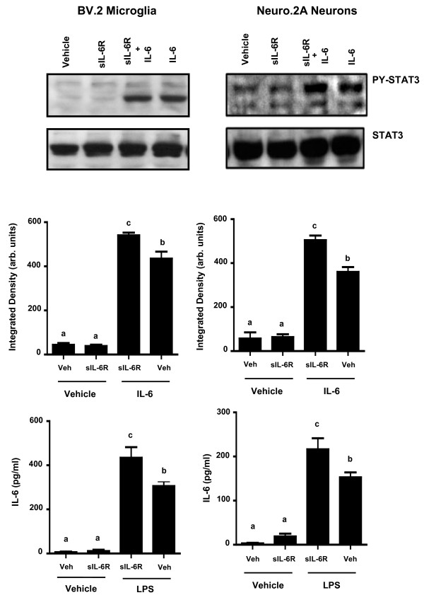 IL-6 trans-signaling in BV.2 microglia and Neuro.2A cells . BV.2 and Neuro2A cells were pre-treated for 1 h with 25 ng/mL sIL-6R and A) IL-6-induced STAT3 phosphorylation and B) LPS-induced IL-6 protein secretion were measured at 20 min and 3 h, respectively. Results are an average of 5 independent experiments. Means with different letters are significantly different from one another (P
