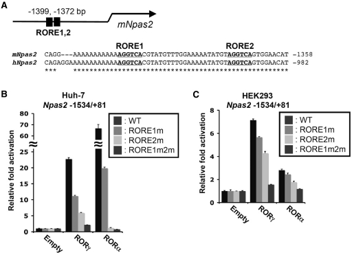 Regulation of Npas2 expression by ROR is mediated through ROREs. ( A ) Schematic of the location of the RORE1 and RORE2 in the proximal Npas2 promoter region. The bold and underlined sequences of these ROREs are conserved between the human and mouse genomes. The numbers refer to the distance to the transcription start site. ( B and C ) RORs were able to effectively activate the (–1534/+81) Npas2 proximal promoter in Huh-7 (B) and HEK293T cells (C). Cells were co-transfected with the indicated p3xFlag–CMV10–ROR expression vector, pCMV-β-Gal and a pGL4.10 reporter plasmid driven by either the WT Npas2 (–1534/+81) promoter or the promoter in which RORE1, RORE2 or both were mutated (RORE1m, RORE2m and RORE1m2m, respectively). About 24 h later the relative luciferase reporter activities were determined as described in 'Materials and Methods' section. Data present mean ± SEM.