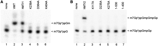 Analysis of hMTr1 and hMTr2 mutants. In vitro transcribed RNA-GG molecules with 32 P-labeled cap0 ( A ) or cap01 ( B ) structures were incubated with indicated enzymes [wild-type (hMTr1, hMTr2), alanine-substituted variants of hMTr1 (K239A, D365A, K404A) and hMTr2 (K117A, D235A, K275A) or truncated forms of hMTr2 (1–530, 1–430)] in the presence of SAM. Purified product RNA was digested with nuclease P1 ( A ) or RNase T2 ( B ). Digestion products were resolved on a 21% polyacrylamide/8 M urea gel and visualized by autoradiography. Asterisks indicate positions of 32 P-labeled phosphates.