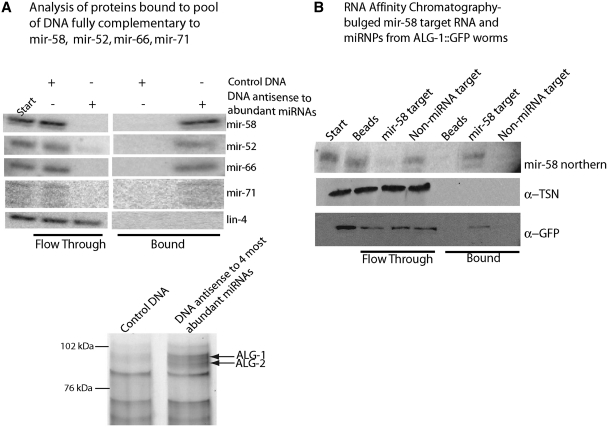 Native C. elegans microRNPs contain ALG-1/ALG-2 and bind to complementary targets. ( A ) A biotinylated control DNA sequence, or a mixture of biotinylated DNA oligos perfectly complementary to four abundant miRNAs (mir-58, mir-52, mir-66, mir-71) were bound to streptavidin beads and incubated with enriched miRNPs from N2 worms. Northern blots probed with mir-58, mir-52, mir-66, mir-71 and negative control lin-4 show the enrichment. Silver stain of SDS–PAGE shows co-purified proteins. ALG-1 and ALG-2 were identified by mass spectrometry. ( B ) An in vitro transcribed control RNA and an imperfectly complementary synthetic RNA target for mir-58 were covalently immobilized to beads. RNA-bound beads and a beads-only control were incubated with enriched miRNP fractions from an ALG-1::GFP expressing strain, WM84. The enrichment of mir-58 was detected by northern blot; ALG-1::GFP and TSN-1 were detected by immunoblots.