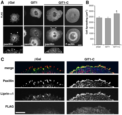 Expression of GIT1-C affects cell morphology and the distribution of endogenous liprin-α1. (A) COS7 cells transfected for one day with either FLAG-GIT1, FLAG-GIT1-C, or FLAG-βGalactosidase were re-plated for 1 h on FN. Immunofluorescence for the transfected proteins (FLAG), paxillin, and phalloidin staining for F-actin. Scale bar, 20 µm. Below, 3-fold enlargements of areas from cells stained for paxillin (arrowheads in the corresponding cells above) are shown. (B) Expression of GIT1-C induces a significant increase of cell spreading on FN. Bars are means ± SEM (n = 116–121 cells per condition); *P