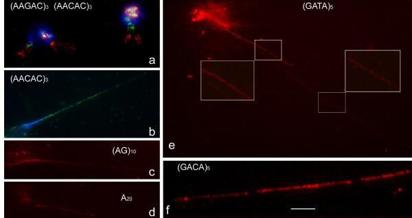 Organization of representative SSRs in extended DNA fibres from neuroblast nuclei of D. melanogaster after ND-FISH with the indicated probes (green or red signals from digoxigenin- and biotin-labelled probes respectively) and DAPI (blue) staining . An example of two colour fibre ND-FISH in haloed nuclei with (AAGAC) 3 (red) and (AACAC) 3 (green) is shown in a . Examples of fluorescent signal patterns in fibres stretched to different degrees are shown in e (square insets). Note the characteristic beaded nature of the signals in the highly extended fibres. A representative of the gaps observed between the continuous track of beaded signals is amplified in f . Scale bar = 10 μm, except in f in which it represents 5 μm. Every micrometer represents 3 kb of the highly stretched DNA.
