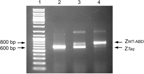 Results from initial enrichment experiments . Agarose gel electrophoresis analysis of PCR products obtained using DNA templates produced after reverse transcription of mRNA recovered after different numbers of rounds of IgG affinity selection of ternary complexes containing Z WT -ABD proteins. Lane 1 : marker DNA; lane 2 : PCR product obtained after reverse transcription and amplification of an initial 1:1000 mixture of Z WT -ABD mRNA in a background of Z Taq mRNA; lane 3 : PCR product obtained after a first round of enrichment; lane 4 : PCR product obtained after a second round of enrichment. Arrows indicate marker DNA bands and the expected sizes for amplicons corresponding to amplification of Z WT -ABD and Z Taq constructs, respectively