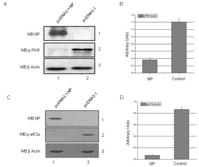 NP expression in mammalian cells leads to downreglation of PKR and eIF2α phosphorylation. HEK293T cells were transfected with NP expressing plasmid <t>(pcDNA3.1-NP)</t> or control plasmid (pcDNA3.1). Cells were harvested at 36 hours post-transfection and cell lysates were subjected to western blotting analysis. A. Lane 1 of panel 2 shows significant downregulation of pPKR levels in NP transfected cells. Panel 1 shows NP expression level, whereas panel 3 shows equal loading trough β-Actin control. B. Figure shows graphical representation of relative pPKR levels as measured by western blotting followed by densitometric measurement in 3 independent experiments. Error bars represent standard deviation. C. Lane 1 of panel 2 shows significant downregulation of p-eIF2α levels in NP transfected cells. Panel 1 shows NP expression level, whereas panel 3 shows equal loading trough β-Actin control. D. Figure shows graphical representation of relative p-eIF2α levels as measured by western blotting followed by densitometric measurement in 3 independent experiments. Error bars represent standard deviation.