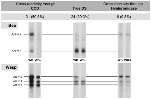 Frequency of typical <t>IgE</t> patterns obtained by western blot inhibition in <t>CAP</t> double sensitized patients. CCD: cross-reactive carbohydrate determinants, True DS: true double sensitization, WB: western blot, WB-I (western blot inhibition): To discriminate between IgE specific for peptide or carbohydrate epitopes, antibody binding to CCDs was inhibited by preincubating sera with MUXF-BSA. Among these patients the majority of DS was CCD-dependent. DS due to protein components of hyaluronidases played a minor role. n = 61.