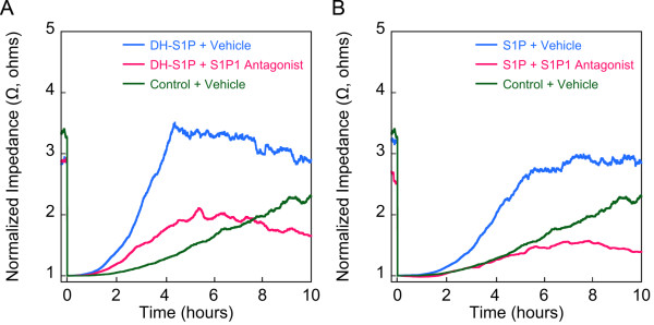 DH-S1P enhances endothelial cell motility in an S1P1 dependent manner . EC monolayers were wounded with a burst of high electrical current as described previously [ 5 ] and the culture medium then supplemented with DH-S1P (1 μM) ( A ), or S1P (1 μM) ( B ) in the presence or absence of the S1P1 antagonist W146 (10 μM in DMSO vehicle). The migration of cells into the wounded areas was measured in real-time by electrical impedance. As a control in both experiments the medium was supplemented with delipidated BSA (Control) in PBS. Electrical impedance data are normalized to baseline following wounding. The data depicted are representative of two independent experiments and traces represent averages of two replicates per condition.