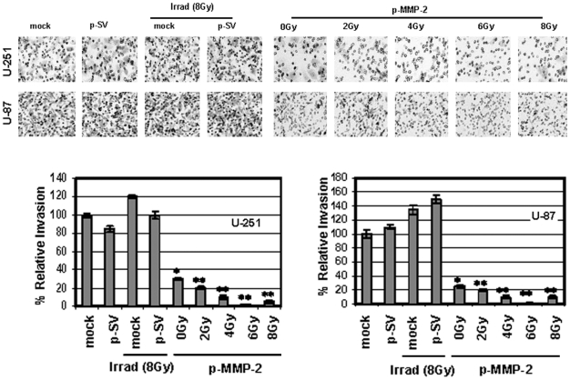 p-MMP-2 transfection inhibits radiation-enhanced glioma cell invasion. U-251 and U-87 cells were transfected with mock, p-SV or p-MMP-2, and irradiated as described earlier. Cells were trypsinized and counted, and 5×10 5 cells from each treatment condition were allowed to invade transwell inserts containing 12-µm-pore polycarbonate membranes pre-coated with Matrigel for 24 h at 37°C. Afterwards, cells were fixed and stained with Hema-3. Cells that had migrated to the lower side of the membrane were photographed under a light microscope at 20× magnification. Percentages of invading cells were quantified by counting five fields from each treatment condition. Columns : mean of triplicate experiments; bars : SD; * p
