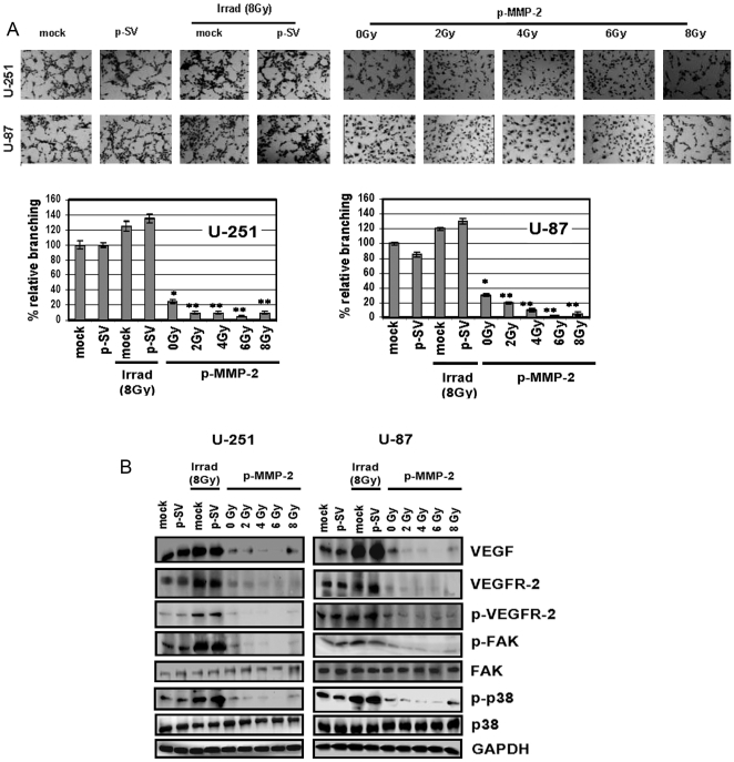 p-MMP-2 inhibits radiation-enhanced tumor culture medium-induced microtubule network formation in endothelial cells and downregulates expression of angiogenesis-associated molecules. A, Human microvascular endothelial cells (5×10 4 ) were seeded in 96-well plates and cultured with conditioned medium collected from U-251 and U-87 glioma cells transfected with mock, p-SV, and p-MMP-2, and irradiated as described earlier. 24 h after radiation treatment, the cells were washed, fixed and stained with Hema-3 and photographed. Percentages of branches were quantified by counting five fields in each condition. Columns : mean of triplicate experiments; bars : SD; * p