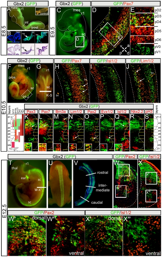 "Dynamic expression of Gbx2 in the developing spinal cord. Gbx2 (GFP) expression detected in whole mount embryo (A). GFP immunolabeling (B, top row) and adjacent sections processed for Gbx2 in situ hybridization (B, bottom row) from E8.5 Gbx2 CreER-ires-eGFP embryo; inset in ""A"" shows wildtype littermate. (C) Gbx2 (GFP) expression in lateral view of an E9.5 embryo. (D–E) GFP and Pax7 immunolabeling on E9.5 Gbx2 CreER-ires-eGFP/+ sections. (F–G) Lateral (F) and (G) dorsal views of EGFP fluorescence in E10.5 Gbx2 CreER-ires-eGFP/+ embryo. (H–J) Antibody labeling of GFP and indicated markers on sagittal sections of E10.5 spinal cord; Note restricted ventral strip of Gbx2 (GFP) expression (J, arrows). (K–S) Antibody labeling of GFP and indicated D-V markers on transverse hemi-sections of E10.5 spinal cord at the upper limb level. The insets show a high magnification view of the region indicated by the arrow. (T–U) EGFP fluorescence of E12.5 Gbx2 CreER-ires-eGFP/+ embryo showing lateral (T) and dorsal (U) view. (V) GFP antibody labeling on sagittal sections of E12.5 spinal cord. GFP/Pax2 (W–W″) and GFP/Isl1/2 (X–X″) immunolabeling on transverse E12.5 hemi-sections of spinal cord at the upper limb (rostral) level. Abbreviations: mesencephalon (mes), rhombomere 1 (r1), intermediate (int) and posterior (post) neural tube, neuroepithelium (ne), blood vessel (bv), prosencephalon (pros), thalamus (thal), spinal cord (sc)."