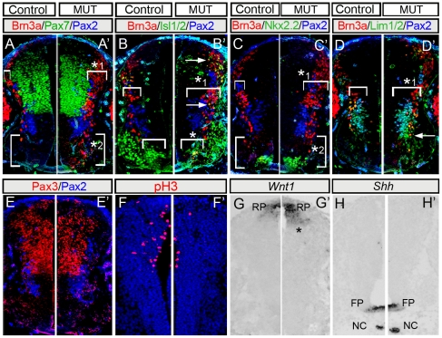 Gbx2 loss affects spinal cord progenitor patterning. Hemi-transverse sections from E10.5 wildtype (A–H) and Gbx2 CreER-ires-eGFP/CreER-ires-eGFP mutant embryos (A′–H′) triple immunolabeled with indicated markers. (A, A′) Broader Brn3a domain dorsally (*1) and Brn3a expressing cells in the ventral domain (*2) in Gbx2 mutants. (B, B′) Brn3a+/Isl1/2+ neurons (arrows) and depletion of the medial-ventral domain of Isl1/2+ neurons (medial motor column,*) in Gbx2 mutants. Qualitatively, some ventral Isl1/2+ neurons inappropriately expressed Brn3a (yellow overlap). (C,C′) Ectopic Brn3a expressing cells in close proximity to the ventral Nkx2.2 population (*2). (D,D′) Medial-lateral expansion of early differentiating neurons in Gbx2 mutant embryos (*1, brackets). In addition, ectopic Brn3a+/Lim1/2+ neurons were seen ventral to their normal position (arrow). (E,E′) Pax3/Pax2 showing that the Pax3 domain is unchanged. (F,F′) Immunolabeling for phosphorylated-Histone H3 (pH3) showing fewer mitotic dorsally in mutant littermates. Wnt1 expression in the roofplate (RP) was subtly expanded (G,G′,*) while Shh expression in the floor plate (FP) and notochord (NC) was unaffected in mutants (H,H′).