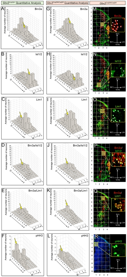 Quantitative assessment of aberrantly distributed spinal cord progenitors in Gbx2 mutant embryos. Quantitative spatial analysis of control Gbx2 CreER-ires-eGFP/+ (A–F) and mutant Gbx2 CreER-ires-eGFP/CreER-ires-eGFP (G–L) spinal cords at E10.5. The average number of progenitors was assessed by counting cells with expressing the indicated markers in two sections at the upper limb level from control embryos (n = 3) and mutant embryos (n = 4). To facilitate a clear comparison of the spatial distribution across samples, we a Cartesian coordinate system where ML 1 -DV 1 represented the most medial-dorsal quadrant, ML 1 -DV 10 the most medial-ventral quadrant, ML 4 -DV 1 the most lateral-dorsal quadrant, and ML 4 -DV 10 the most lateral-ventral quadrant (M–R). The yellow boxes in panels M–R are shown at higher magnification with white dots used to track counted cells. The yellow boxes also correlate with the domains that were highlighted in the graphs with a yellow arrow. Quantitative spatial mapping revealed the distribution of Brn3a+ cells (A,G,M), Isl1/2+ (B,H,N), Lim1+ (C,I,O), Brn3a+/Isl1/2+ (D,J,P), Brn3a+/Lim1+ (E,K,Q), and pHH3 (F,L,R).
