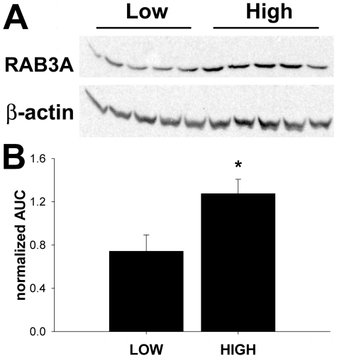 RAB3A expression in high and low drinking mice. A . Western blot of nucleus accumbens total protein probed with RAB3A and beta-actin. B . Quantitation of western blot analysis, area under the curve (AUC) RAB3A expression normalized to total beta-actin. LOW