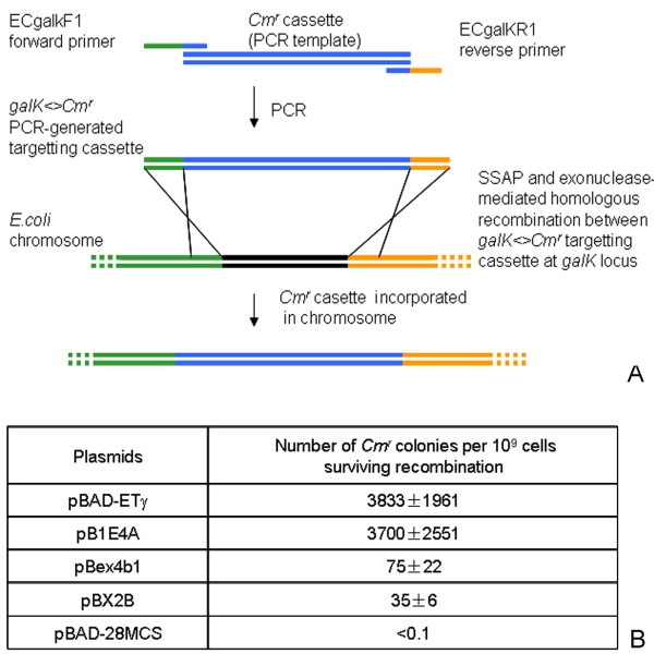 Efficiency of SXT-Bet + SXT-Exo mediated recombination between a PCR-generated DNA fragment and its homologous target on the E. coli chromosome . Panel A: Schematic overview of the chromosomal targeting assay use to score exonuclease + SSAP-mediate recombination efficiency. A dsDNA 'targeting' molecule ( galK