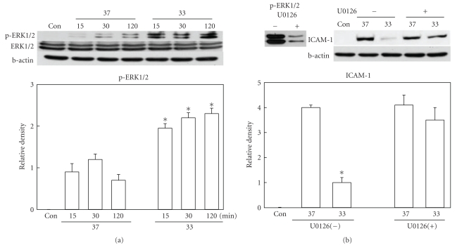 Western blot analysis of phosphorylated ERK1/2 and ICAM-1. (a) Phosphorylation of ERK1/2 was significantly higher in hypothermic (33) brains than normothermic (37) ones at 15, 30, and 120 minutes after ischemic insult ( n = 6 per group). Total ERK1/2 level was not changed. (b) Ischemia-induced increase of ICAM-1 at 24 hours after MCAO was suppressed by hypothermia. But this suppression was not observed when ERK1/2 inhibition was done (U0126, n = 4) at the dose which almost completely inhibited ERK1/2 phosphorylation. * P