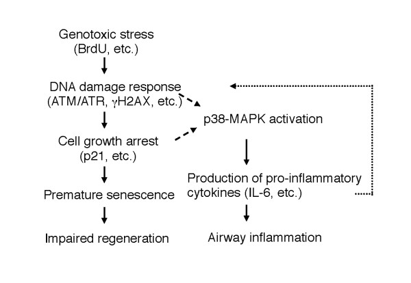Pathways by which BrdU impairs epithelial repair and induces persistent inflammation in the chronic NA injury model . BrdU induces genotoxic stress, which activates the DNA damage response, thereby promoting premature senescence, which results in the growth arrest of epithelial cells. Genotoxic stress caused by BrdU also activates p38-MAPK pathways that trigger the production of pro-inflammatory cytokines/chemokines, which exacerbate inflammation. Which is necessary for p38-MAPK activation, the DNA damage response or cell cycle arrest (p21, etc.), has not been determined ( broken arrows ). Recent evidence indicates that pro-inflammatory cytokines (e.g., IL-6, IL-8) at least in part reinforce cell cycle arrest via the DNA damage response pathway [ 32 , 33 ], suggesting a positive feedback loop ( dashed arrow ) in which inflammation in turn promotes senescence.