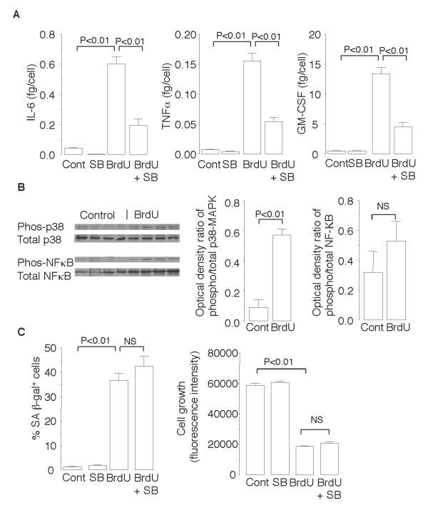 Senescence of NCI-H441 cells after exposure to BrdU for 10 days is accompanied by p38 MAPK-dependent pro-inflammatory cytokine production . ( A ) ELISA to measure concentrations of IL-6, TNF-α, and GM-CSF in the culture supernatants of NCI-H441 cells exposed or not exposed to 25 μM of BrdU in the presence or absence of 10 μM of the p38 MAPK inhibitor SB202190. The concentration of the anti-inflammatory cytokine IL-10 was below the limit of detection. ( B ) Immunoblot analyses for phosphorylation levels of p38 MAPK and NF-κB in the cell lysates. ( C ) Effects of SB202190 on BrdU-induced SA β-gal activation and growth arrest. Data are expressed as the means ± SEM. N = 3-6 in each experiment.