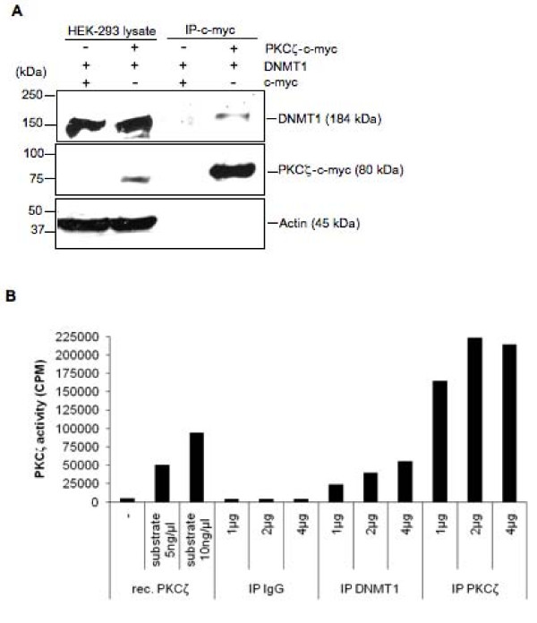 In vivo association between DNMT1 and PKCζ . (A) Co-immunoprecipitation of DNMT1 and PKCζ in nuclear extracts of HEK-293 cells. The cells were transfected with DNMT1 and PKCζ-c-myc or c-myc for 48 hours and c-myc proteins were purified with immobilized anti-c-myc beads. Protein complexes were resolved by SDS/PAGE and the presence of PKCζ was demonstrated using an anti-c-myc antibody; DNMT1 and actin were revealed, respectively, using an anti-DNMT1 and an anti-actin antibody. (B) Detection of endogenous PKCζ activity in DNMT1 immunoprecipitates. Nuclear proteins from HEK-293 cells were incubated with beads prebound to an isotopic IgG antibody or antibodies against DNMT1 or PKCζ for 4 hours. After several washes, protein-bead complexes were tested for kinase activity using (γ- 32 P)ATP and PKCζ specific substrate. Data are representative of three independent experiments. rec. PKCζ, recombinant PKCζ.
