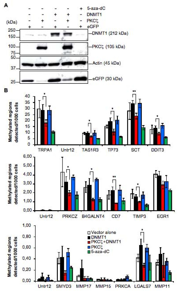 Decrease of DNA methylation in HEK-293 cells overexpressing DNMT1 and PKCζ . ( A ) Western blot analysis showing expression of PKCζ and DNMT1 in HEK-293 transfected cells used in the analysis of methylated DNA Ip-on-Chip described in Materials and methods. ( B ) Histograms representing the methylation status of 15 genes selected from active regions as measured by qPCR using DNA immunoprecipated with an antibody against 5-methylcytosine. Untr12 was used as a control for a negative region. TRPA1 was used as a positive control. Copy number values were normalized for primer efficiency by dividing by the values obtained using input DNA and the same primer pairs. Error bars represent standard deviations calculated from the triplicate determinations. *, P