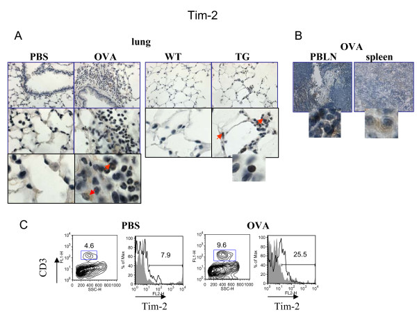 Regulation of lung Tim-2 expression by allergen and VEGF . Immunohistochemical (A-B) and flow cytometric (C) detection of Tim-2 expression in lung (A) and lymphoid (B) tissues, and on lung T cells (C). (A-B) Note positive Tim-2 staining on different lung cells besides lymphocytes in allergen- or VEGF-exposed mouse lungs. Red arrows point to Tim-2+ APC-like cells and granulocyte. Inserts show high magnification fields (100x) with marker-positive cells (lymphocytes). (C) Flow cytometry analysis of cells from lung enzymatic digests obtained from PBS- and allergen-treated mice showed an increase in lung Tim-2+ T cells in OVA-treated mice. The histograms show the percentage of Tim-2+CD3+ cells in the lung (clear histogram) as compared to the appropriate isotype control stained CD3+ cells (gray histogram).