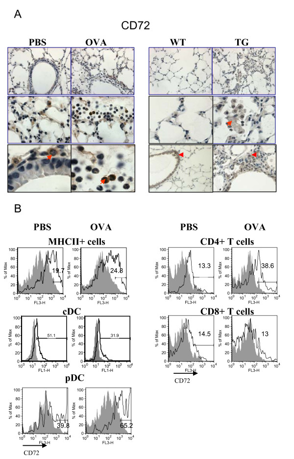 Regulation of lung CD72 expression by allergen and VEGF . Sema4D receptor CD72 expression in mouse lung tissue and cells was analyzed by immunohistochemistry and flow cytometry (A-B). (A) Formalin-fixed paraffin-embedded lung tissue sections obtained from either control or OVA-treated WT mice were deparaffinized and immunohistochemistry was performed using appropriate Abs as described in Materials and Methods. Frozen lung tissue sections were used for VEGF tg mice. CD72 is the most abundantly expressed molecule in the lungs of PBS-treated mice. Its expression is further upregulated with OVA treatment. Note that subsets of inflammatory granulocytes and lymphocytes express CD72 (red arrow). In VEGF tg lungs CD72 expression was mainly targeted to inflammatory macrophages (red arrow). Red arrowhead points to the lung epithelial cell CD72 expression. (B) CD72 is expressed on lung MHCII+ cells including DC and is upregulated by OVA. Both CD4+ and CD8+ T cells in the lung express CD72 at low level which is further upregulated by allergen on CD4+ T cells.