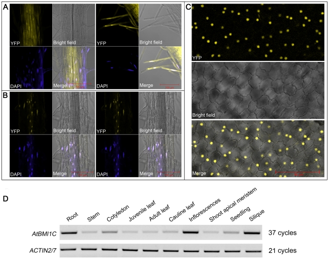 Nuclear localization and expression pattern of AtBMI1C . (A) Images of roots from transgenic seedlings harboring YFP driven by the CaMV35S promoter. (B) Images of roots from transgenic seedlings harboring YFP-tagged AtBMI1C driven by the CaMV35S promoter. Scale bar (red), 100 µm. (C) Images of petals from transgenic plants harboring YFP-tagged AtBMI1C driven by the CaMV35S promoter. Scale bar (red), 50 µm. (D) The expression pattern of AtBMI1C in seedlings and different organs was analyzed by semiquantitative RT-PCR.