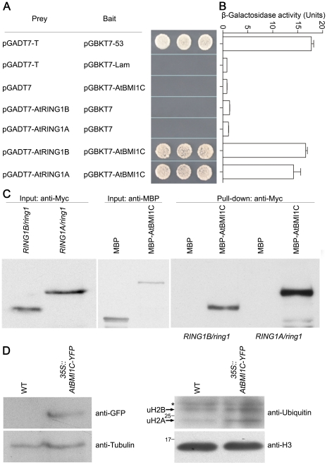 Physical interactions between AtBMI1C and AtRING1A/B, and the detection of H2A monoubiquitination activity. (A) Yeast two-hybrid assay. Positive control: pGADT7-T + pGBKT7-53 (encoding fusions between the GAL4 DNA-BD and AD and murine p53 and SV40 large T-antigen, respectively). Negative control: pGADT7-T + pGBKT7-Lam (encoding a fusion of the DNA-BD with human lamin C; control for interactions between an unrelated protein and either the pGADT7-T control or AD/library plasmid). The indicated combinations of plasmids were co-transformed into the yeast reporter strain, and the interactions of AtBMI1C with AtRINGs were assessed by growth on plates lacking Leu, Trp, His, and adenine. (B) The interactions between AtBMI1C and AtRING1A/B were quantitatively evaluated based on the level of β-galactosidase activity. (C) Pull-down assay. Total protein was extracted from 2 g of eleven-day-old Myc- RING1A/ring1 or Myc- RING1B/ring1 plants, respectively. Each protein extract was divided in half and incubated with MBP- or MBP-GST-coated beads. The pulled down fractions were analyzed by Western blotting. (D) Western blot analysis of histone extracts of WT and 35S::BMI3-YFP using anti-ubiquitin and -H3 antibodies, respectively. Molecular weight (MW) markers (in kDa), monoubiquitinated H2B (uH2B), and monoubiquitinated H2A (uH2A) are indicated. Asterisks indicate cross-reacting bands.