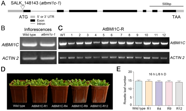 Identification of the AtBMI1C mutant and characterization of artificial microRNAi lines. (A) Genomic architecture of AtBMI1C and position of the mutation in atbmi1c-1 . The 5′ or 3′ UTR is represented by a gray bar. Exons are represented by black bars. Introns are represented by black lines. The T-DNA insertion in atbmi1c-1 (SALK_148143) is located in the 5′ UTR of AtBMI1C . Scale bar, 500 bp. (B) Detection of AtBMI1C mRNA in a homozygous atbmi1c-1 T-DNA insertion line by semiquantitative RT-PCR. Total RNA was extracted from the inflorescences of homozygous atbmi1c and wild-type plants. Semiquantitative RT-PCR was performed to amplify the full-length transcript using ACTIN2/7 as an endogenous control. (C) Characterization of AtBMI1C mRNA abundance in AtBMI1C-Rs. Total RNA was extracted from the inflorescences of AtBMI1C-Rs and wild-type plants. Semiquantitative RT-PCR was conducted to amplify the full-length transcript using ACTIN2/7 as an endogenous control. (D) Morphology of the AtBMI1C-Rs, in which AtBMI1C was down-regulated, compared to wild type and AtBMI1C-R12, an amiRNAi line in which the expression of AtBMI1C was almost the same as in wild type. (E) Flowering time in the AtBMI1C-Rs was the same as in wild type. Plants were grown under LD conditions. The number of rosette leaves was determined after bolting.