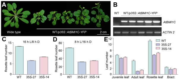AtBMI1C overexpression driven by the 35S promoter accelerates flowering in Arabidopsis . (A) Morphology of AtBMI1C -overexpressing plants carrying p35S::AtBMI1C-YFP grown under LD conditions for 27 days. The plants flowered earlier than wild type. A total of 30 out of 198 independent T1 lines showed an early flowering phenotype and elevated AtBMI1C expression. A number of independent transgenic lines were chosen for the following investigation. Scale bar, 2 cm. (B) AtBMI1C expression in transgenic lines carrying p35S::AtBMI1C-YFP . AtBMI1C expression was measured by semiquantitative RT-PCR. ACTIN2/7 was used as an internal control. (C) and (D) Determination of flowering time in AtBMI1C -overexpressing plants containing p35S::AtBMI1C-YFP grown under LD and SD conditions using two AtBMI1C overexpressor lines as representatives. The number of rosette leaves was determined after bolting. (E) Vegetative phase transition in AtBMI1C -overexpressing plants containing p35S::AtBMI1C-YFP grown under LD conditions. Juvenile, adult, rosette, and cauline leaves were counted after flowering. Juvenile and adult leaves were distinguished based on the presence of trichomes on their abaxial surface.