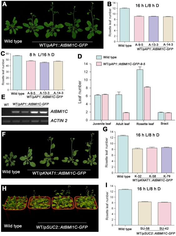 Tissue-specific AtBMI1C overexpression promotes flowering in Arabidopsis . (A) Morphology of transgenic plants carrying pAP1::AtBMI1C-GFP grown under LD conditions for 28 days. The plants showed an early flowering phenotype compared with wild type. A total of 18 out of 72 independent T1 lines showed an early flowering phenotype. A few lines were chosen for the following experiments. (B) and (C) Determination of flowering time in transgenic plants containing pAP1::AtBMI1C-GFP grown under LD and SD conditions using three AtBMI1C transgenic lines as representatives. The number of rosette leaves was determined after bolting. (D) Vegetative phase transition in transgenic plants containing pAP1::AtBMI1C-GFP grown under LD conditions. Juvenile, adult, rosette, and cauline leaves were counted after flowering. Juvenile and adult leaves were distinguished based on the presence of trichomes on their abaxial surface. (E) AtBMI1C expression in transgenic lines carrying pAP1::AtBMI1C-YFP . Total RNA was extracted from leaves of pAP1::AtBMI1C-GFP and wild-type plants. AtBMI1C expression was measured by semiquantitative RT-PCR using ACTIN2/7 as an internal control. (F) Morphology of transgenic plants carrying pKNAT1::AtBMI1C-GFP grown under LD conditions for 28 days. The plants showed an early flowering phenotype compared with wild type. A total of 20 out of 108 independent T1 lines showed an early flowering phenotype. (G) Determination of flowering time in transgenic plants containing pKNAT1::AtBMI1C-GFP grown under LD conditions. The number of rosette leaves was determined after bolting. (H) Morphology of transgenic plants carrying pSUC2::AtBMI1C-GFP grown under LD conditions for 28 days. The plants showed an early flowering phenotype compared with wild type. A total of 24 out of 108 independent T1 lines showed an early flowering phenotype. (I) Determination of flowering time in transgenic plants containing pSUC2::AtBMI1C-GFP grown under LD conditions. The number of rosette leave