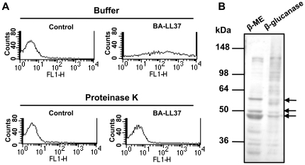 Binding of LL-37 to C. albicans cell-wall proteins. (A) Flow cytometry showing that BA-LL37 bound to C. albicans . Cells were treated with 1 mg/ml proteinase K (lower panels) or were not treated (upper panels) prior to incubation with 10 µg BA-LL37. The fluorescence intensity (FL1-H) of SA-DTAF that was associated with the cells via binding to BA-LL37 was measured to determine the amount of BA-LL37 bound to cells. The results are representative of two independent experiments that gave similar results. (B) Extracts prepared by fractionation of C. albicans cell-wall proteins using β-ME and β-glucanase. The proteins in the extracts were separated by SDS-PAGE and transferred to a polyvinylidene difluoride membrane. The membranes were probed with BA-LL37 and visualized with HRP–conjugated streptavidin. Arrows indicate the three major cell wall proteins bound by LL-37. The positions and values of molecular mass standards are indicated. Data are representative of three independent experiments that gave similar results.