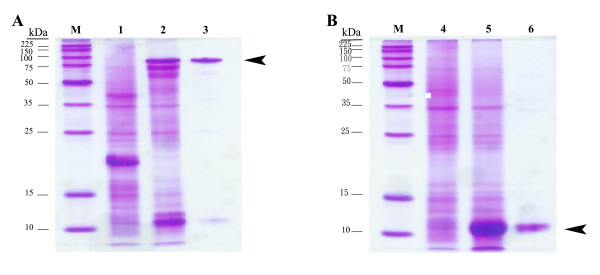 SDS-PAGE analysis of purified protein . Shown are the CaroS2K (A) and CaroS2I (B). Samples were subjected to electrophoresis in 10% polyacrylamide gels, which were stained with Coomassie blue. Lane M, molecular weight standards (kDa); lane 1, cell lysate of E. coli <t>BL21/pET32a;</t> lane 4, cell lysate of BL21/pET30b; lanes 2 and 5, IPTG-induced cell lysates of BL21/pES2kI and <t>BL21/pES2I,</t> respectively; lanes 3 and 6, purified protein obtained after elution. The arrowheads indicate the killing protein of carocin S2K (A) and the immunity protein of carocin S2I (B).