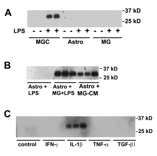 Analysis of glial cell TIMP-1 expression in response to cytokines and LPS . TIMP-1 expression was examined by western blot of cell culture supernatants, as described in Materials and Methods. A. The influence of LPS on TIMP-1 expression in the three different types of glial culture. MGC, astrocytes, and microglial cultures were treated with LPS for 2 days, then cell culture supernatants examined for TIMP-1 expression. Note that cultures not treated with LPS did not express TIMP-1, and TIMP-1 protein (~28 kD band) was induced only in MGC following LPS stimulation. B. TIMP-1 induction in astrocytes in the presence of activated microglia or MG-CM. Pure astrocyte cultures received either: LPS, microglia + LPS, or LPS-activated MG-CM. Note that the presence of LPS-activated microglia or LPS-activated MG-CM strongly induced TIMP-1 expression in astrocytes. C. The influence of cytokines on TIMP-1 expression by astrocytes. Pure astrocyte cultures were treated with a panel of different cytokines for 2 days, and the supernatants analyzed for TIMP-1 expression. Note that of the cytokines tested, only IL-1β stimulated TIMP-1 expression in astrocytes.