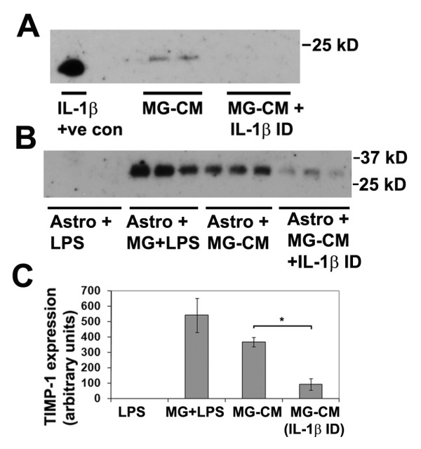 Examining the role of microglia-derived IL-1β in promoting astrocyte TIMP-1 expression . A. Determination of IL-1β in LPS-activated MG-CM. Microglial cultures were treated with LPS for 2 days, then subject to either six rounds of IL-1β immunodepletion, or mock depletion, as described in Materials and Methods, and samples analyzed for the presence of IL-1β. Note that IL-1β was detected in the LPS-activated MG-CM before, but not after the IL-1β immunodepletion, demonstrating the effectiveness of the immunodepletion strategy. B and C. The effect of removing IL-1β from LPS-activated MG-CM on astrocyte TIMP-1 production. Pure astrocyte cultures received either: LPS, microglia + LPS, LPS-activated MG-CM (mock depleted) or LPS-activated MG-CM depleted of IL-1β. Note that the presence of LPS-activated microglia or LPS-activated MG-CM strongly induced TIMP-1 expression in astrocytes, but this effect was markedly attenuated after IL-1β removal from the MG-CM. * p