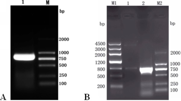 Cloning of DEV UL55 gene and identification of recombinant plasmid pMD18-T/UL55 by restriction enzyme digestion . A , The amplification of DEV UL55 gene by conventional PCR using primers P1, P2. Lane 1, the amplified product of DEV UL55 gene; M, DNA marker(DL2000). B , Identification of recombinant plasmid pMD18-T/UL55 by restriction enzyme digestion. Lane 1, the recombinant plasmid pMD18-T/UL55 were digested with BamH I and Xho I ; Lane 2, the PCR product of the recombinant plasmid pMD18-T/UL55; M1, DNA marker III; M2, DNA marker(DL2000).