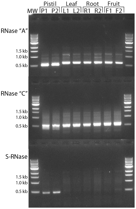 "Expression of RNase T2 genes in C. arabica tissues. Agarose gel image showing RT-PCR results using gene-specific primers for Coffea RNase ""A"", ""C"", and S-RNase genes. cDNAs were generated from RNA extracts of various C. arabica tissues labeled as follows: P1 = pre-anthesis pistils dissected from flower buds; P2 = post-anthesis pistils; L1 = leaf at 1 week; L2 = leaf at > 2 weeks; R1 = fine root; R2 = primary root; F1 = fruit at approximately 1 week; F2 = fruit at > 3 weeks. RNase ""A"" and ""C"" genes are constitutively expressed in C. arabica tissues, but the S-RNase gene shows pistil-specific expression characteristic of genes involved in the S-RNase GSI system."