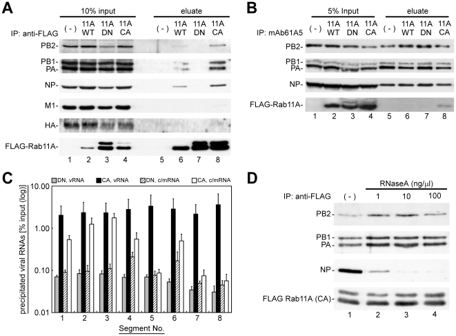 Coimmunoprecipitation of progeny vRNP segments with active/GTP-bound Rab11A. ( A ) Coimmunoprecipitation of viral proteins with FLAG-Rab11A and its mutants. MDCK-Neo (lanes 1 and 5), MDCK-F11A-WT (lanes 2 and 6), -DN (lanes 3 and 7), and -CA (lanes 4 and 8) cells were infected with PR8 strain and harvested at 7 hpi. PNS were subjected to immunoprecipitation assays using anti-FLAG mAb, and 10% input (lanes 1–4) and precipitates (lanes 5–6) were analyzed by Western blotting with mouse anti-HA antiserum and anti-FLAG mAb, rabbit anti-PB2, PB1, PA, NP, and M1 antisera. ( B ) Coimmunoprecipitation of FLAG-Rab11 CA mutant with viral RNP complexes. Immunoprecipitation assay was carried out using anti-NP mAb61A5. Precipitates were treated with RNase A and eluates were subjected to Western blotting analysis. ( C ) Coimmunoprecipitation efficiencies of viral RNAs. The amounts of viral RNAs in the immunoprecipitates with anti-FLAG mAb were quantified by polarity-specific reverse transcription followed by segment-specific semiquantitative real-time PCR. Coimmunoprecipitation efficiencies were calculated as percentage of RNA amounts in precipitates relative to those in the input ( Figure S3 ). Segment numbers were indicated at the bottom. Columns indicated the coimmunoprecipitation efficiencies of vRNAs (gray and black columns) and c/mRNAs (hatched and white columns) from MDCK-F11A-DN and -CA. ( D ) Coimmunoprecipitation of vRNP components in the presence of RNase A. Immunoprecipitation assays using infected MDCK-F11A-CA cells were carried out in the absence (lane 1) or the presence of 1, 10, and 100 ng/µl RNase A (lanes 2–4, respectively). Coprecipitated vRNP components (PB2, PB1, PA, and NP) and direct precipitates (FLAG-Rab11A CA) were detected by Western blotting.