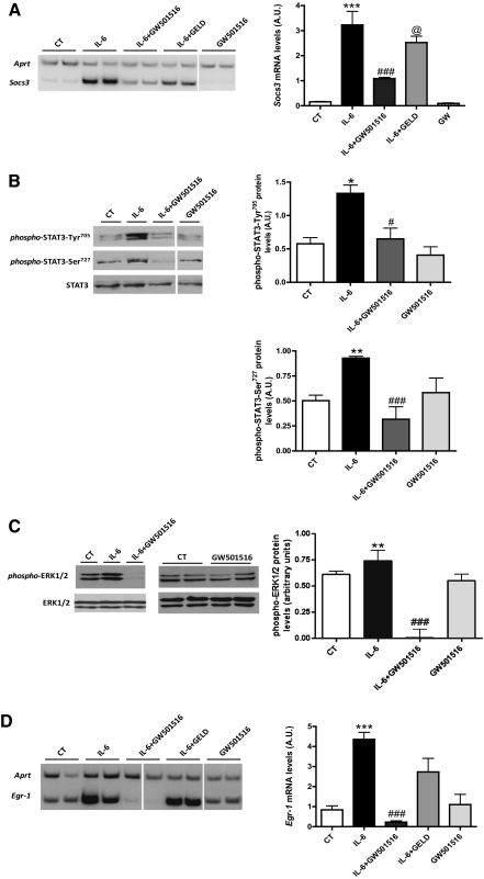 The PPAR-δ agonist GW501516 prevents IL-6–induced SOCS3 expression and STAT3 phosphorylation in 3T3-L1 adipocytes. A : Analysis of the mRNA levels of Socs3 in serum-starved differentiated adipocytes untreated or treated with 10 μmol/L GW501516 for 24 h or 2 μmol/L geldanamycine for 30 min before stimulation with 10 ng/mL IL-6 for 1 h. Total RNA was isolated and analyzed by RT-PCR. A representative autoradiogram and the quantification normalized to the Aprt mRNA levels are shown. Data are the means ± SD of five independent experiments. 3T3-L1 adipocytes were treated with 10 μmol/L GW501516 for 24 h before stimulation with 10 ng/mL IL-6 for 24 h. Nuclear ( B ) or total cell extracts ( C ) were subjected to Western blot analysis with phospho-STAT3 (Tyr 705 and Ser 727 ) or STAT3 antibodies ( B ) or phospho-ERK1/2 and ERK1/2 ( C ) antibodies. D : Analysis of the mRNA levels of Egr-1 in 3T3-L1 serum-starved differentiated adipocytes untreated or treated with 10 μmol/L GW501516 for 24 h before stimulation with 10 ng/mL IL-6 for 1 h. Total RNA was isolated and analyzed by RT-PCR. Bars are the means ± SD of five independent experiments. * P