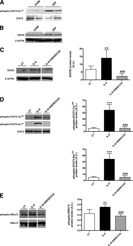 The PPAR-δ agonist GW501516 prevents IL-6–induced SOCS3 expression and STAT3 phosphorylation in white adipose tissue. Phospho-STAT3 (Ser 727 ) and SOCS3 protein levels are increased in white adipose tissue of ZDF rats. A : Analysis of phospho-STAT3 (Ser 727 ) and total STAT3 by immunoblotting of nuclear or total protein extracts from white adipose tissue of lean and ZDF rats. B : Total cell extracts from white adipose tissue of lean and ZDF rats were subjected to Western blot analysis with SOCS3 and β-actin antibodies. Mice were treated for 48 h with vehicle, IL-6, or IL-6 plus GW501516. SOCS3 ( C ), phospho-STAT3 (Tyr 705 and Ser 727 ) ( D ), and phospho-ERK1/2 ( E ) protein levels. Nuclear (phospho-STAT3-Ser 727 ) or total cell extracts were subjected to Western blot analysis with phospho-STAT3 (Tyr 705 ) or STAT3 antibodies or phospho-ERK1/2 and ERK1/2 antibodies. Bars are the means ± SD of four independent experiments. *** P