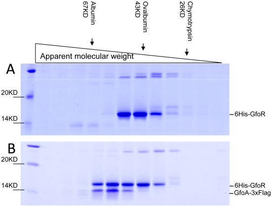 Gel exclusion chromatography of GfoR and GfoR∶GfoA complexes. Proteins were purified from strain MA8731 containing the GfoR plasmid pSEB11 as described in Materials and Methods . The strain was grown without (A) or with arabinose (B). About 10 µg of each protein preparation were applied to an Amersham Sephadex G75 column. 0.5 mL fractions were collected after the passage of the void volume, dried, resuspended in protein loading buffer and separated on a 12% SDS-polyacrylamide gel. Band identification was confirmed by anti-FLAG Western blotting (data not shown). The column was size-calibrated using <t>α-chymotrypsin,</t> ovalbumin and bovine serum albumin from Sigma-Aldrich.