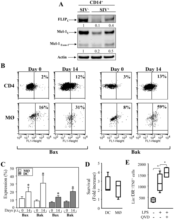 Expression of pro- and anti-apoptotic molecules in monocytes and mDCs during primary SIV infection. ( A ) Expression of FLIP and Mcl-1 in purified CD14 + (MØ) from healthy RM (SIV − ) and SIV-infected RMs (SIV + ). After isolation, the cells were lysed and the proteins were immunoblotted with specific antibodies against the anti-apoptotic molecules FLIP and Mcl-1. Actin was used as a control for equal protein loading. Values represent the ratio of the FLIP and Mcl-1 bands and normalized with respect to the loading control. ( B ) Flow cytometric analysis of the active form of the pro-apoptotic molecules Bax and Bak in CD4 + T cells, and monocytes (MØ) at days 0 and 14. ( C ) Percentage of active form of Bax and Bak among monocyte and DC populations at days 0 and 14. Values are means ± sem (n = 6); Significantly different from day 0 (*, p