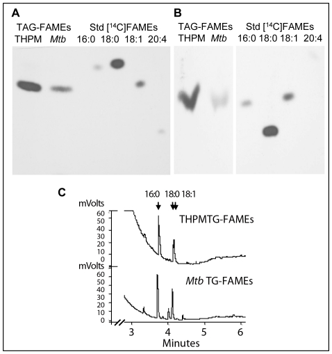 Fatty acid composition analysis confirms that Mtb incorporates host TAG-derived fatty acids directly into TAG. A and B , Macrophage TAG labeled with [ 14 C]oleate is utilized by Mtb for TAG accumulation. A , AgNO 3 -TLC of methyl esters of fatty acids (FAMEs) prepared from TAG of Mtb -infected macrophages (lane 1, from left) and TAG from Mtb recovered from such macrophages (lane 2). B , Reversed-phase TLC analysis of FAMEs prepared from macrophage TAG (lane 1) and Mtb TAG (lane 2). Autoradiograms of the TLC plates with authentic 14 C-labeled C16:0, C18:0, C18:1 and C20:4 FAMEs are shown. The AgNO 3 -TLC and reversed-phase TLC show that 14 C-oleic acid is incorporated into THPM TAG which is utilized to accumulate [ 14 C]oleate-labeled TAG inside Mtb . C , FAMEs prepared from THPM and Mtb TAG analyzed using a Varian CP-TAP CB capillary column attached to a Varian <t>CP-3900</t> gas chromatograph under a temperature control program. Mtb TAG FAMEs are identical to THPM TAG FAMEs except for very long-chain derivatives seen only in the TAG from the pathogen.
