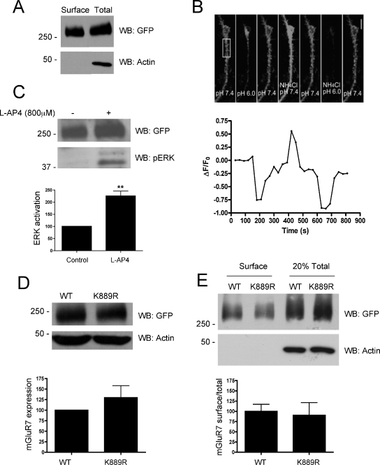 Expression and surface trafficking of a wild-type and non-SUMOylatable SEP-mGluR7 in HEK293 cells: (A) SEP-mGluR7 was transfected into HEK293 cells. Thirty-six hours post-transfection, surface proteins were labelled with biotin, the cells lysed and biotinylated surface proteins were isolated on streptavidin beads and subjected to Western blotting alongside total lysate for GFP (SEP). (B) SEP-mGluR7 was transfected into 13DIV primary cortical neurons and imaged for SEP expression 5 days later (upper panel). SEP fluorescence was reduced with a transient exposure to pH 6.0 buffer consistent with the majority of the signal arising from surface expressed SEP-mGluR7. Application of ammonium chloride, which collapses pH gradients across the plasma membrane and transiently equilibrates intracellular compartments to the extracellular pH increased fluorescence showing the total SEP signal (pH 7.4) or minimum signal (pH 6). The fluorescence of the region boxed in the upper panel is shown graphically in the lower panel. (C) SEP-mGluR7 is functional in HEK293 cells, as assayed for its ability to activate the ERK pathway. Data are the mean ± SEM, ** p