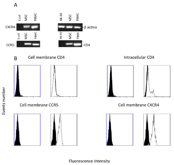 Analysis of CD4, CXCR4 and CCR5 expression in MSCs. Analysis of CD4, CXCR4, CCR5 and β-actin mRNA expression by qualitative real time RT-PCR in MSCs (A). A typical gel electrophoresis of qualitative real time RT-PCR is shown. As positive controls, total RNAs extracted from PBMC were employed. The total RNAs extracted from NK-92 cells (for CD4) and E. coli total RNA (for CXCR4 and CCR5) served as negative control. Panel B displays a typical flow cytometry analysis of CCR5, CXCR4 and CD4 staining in MSCs. Unshadowed areas represent MSCs treated with FITC-conjugated specific mAb, whereas the negative control (MSCs stained by FITC-conjugated irrelevant isotype matched mAb) is represented by shadowed areas. Three experiments were performed in duplicate.
