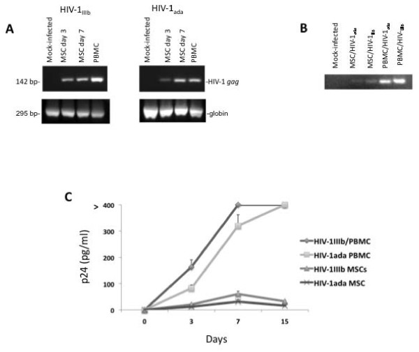HIV-‐1 proviral DNA and p24 protein detection in MSCs infected by HIV-‐1 strains. Analysis of HIV-1 proviral DNA by qualitative real time PCR (A): agarose gel electrophoresis of MSC infected by HIV-1 IIIb and HIV-1 ada at days 3 and 7 post-infection. Positive control was activated PBMC at day 3 and negative control was mock-infected MSCs. All experiments were performed using 5 × 10 5 MSC or activated PBMCs infected or not with HIV-1 IIIb and HIV-1 ada (5 ng/ml p24). Panel B shows DNA integrated proviral HIV-1. The total DNA extracted from 5 × 10 5 MSC or activated PBMC cells was run in agarose gel electrophoresis and, after the purification of cellular DNA as previously described ( 51 ), a nested Alu -PCR was performed. The MSCs challenged by HIV-1 strains were analyzed at day 7. Activated PBMCs infected with the two HIV-1 strains served as positive controls. A specific LTR 100 bp band is detectable in HIV-1 infected MSCs and positive controls. Panel C displays the cell supernatant p24 analysis. ELISA p24 kit was employed to analyze the p24 content in cell supernatant. This assay exhibits a sensitive limit at 3 pg/ml. The amount of p24 in MSCs challenged with HIV-1 strains was very low and, in these experimental conditions, slowly declined at later tested times. The positive controls were performed by activated PBMC infected with HIV-1 strains.